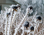 Photo by Kathleen Ernst of frost-covered wild seedheads.