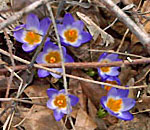 Photo of first crocuses of spring 2013 found in Kathleen Ernst's yard.