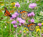 Color photo of 3 Monarch butterflies on prairie plants in the suburban yard of bestselling author Kathleen Ernst.