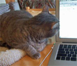 Photo of Sophie the feline Super Muse staring at the laptop screen as bestselling author Kathleen Ernst edits a future Chloe Ellefson mystery book manuscript.