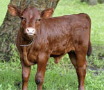 Photo of the real life calf who provided inspiration for the Garnet American Girl plush toy.