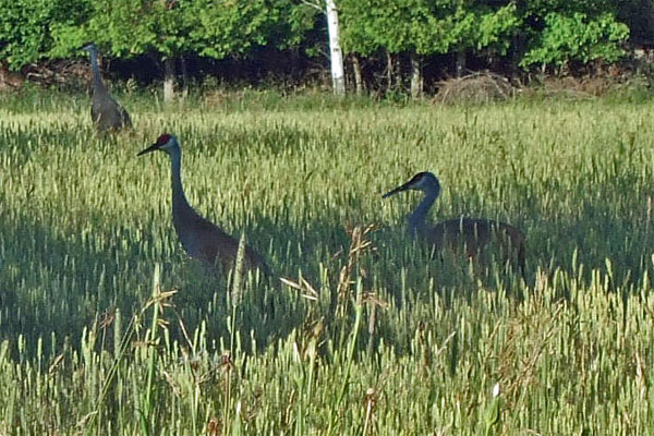 Old World's rural setting supports a wide variety of wildlife, including Sandhill cranes. Chloe loves hearing their plaintive cry, as do I. (Photo by Scott Meeker.)